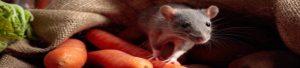 rattio e topi a milano
